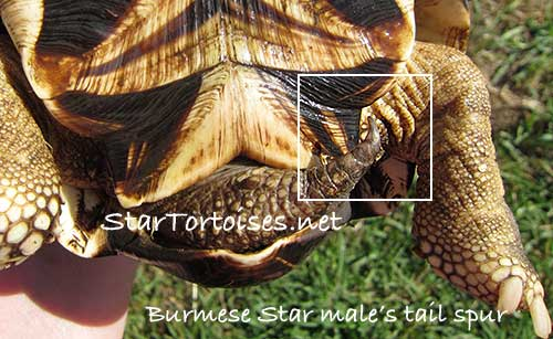 Burmese Star tortoise male's tail spur